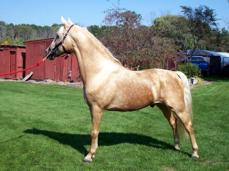 MEMC Tinseltown, Morgan Palomino Stallion